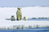 A Polar Bear, Ursus Maritimus, and Her Cubs on an Ice Floe Photographic Print by Jed Weingarten