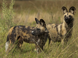 Two Cape Hunting, or African Wild Dogs, Looking around at their Surroundings Fotografisk tryk af Beverly Joubert