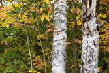 White Birch Tree Trunks Surrounded by Yellow and Green Foliage in the Fall Photographic Print by Mauricio Handler