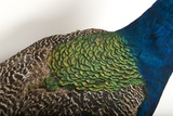 Part of an Indian Peafowl, Pavo Cristatus, at the Lincoln Children's Zoo Photographic Print by Joel Sartore