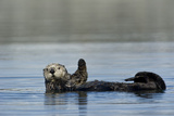 A Sea Otter, Enhydra Lutris, Seeming to Wave, from its Back in the Water Fotografiskt tryck av Michael S. Quinton