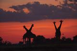 Silhouette of Two Pairs of Giraffes Standing in the Crimson Sunset, Botswana Photographic Print by Beverly Joubert