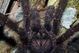 A Hairy Peruvian Pinktoe Tarantula Hunting for Prey on a Tree Trunk at Night Photographic Print by Jason Edwards