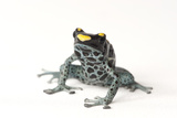 A Morph of the Dying Poison Dart Frog, Dendrobates Tinctorius Photographic Print by Joel Sartore