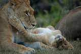 A Lioness and Her Cub Lying Next to Each Other, Playing Photographic Print by Beverly Joubert