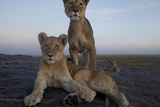 Lion Cubs Use Kopjes, Rocky Outcrops, as Havens and Outlooks on the Plains Photographic Print by Michael Nichols