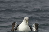A Gray-Headed Albatross, Thalassarche Chrysostoma, Bathing in the Sea Photographic Print by Tim Laman