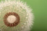 Close Up of the Seed Head of a Common Dandelion, Taraxacum Officinale Fotografisk tryk af Joe Petersburger