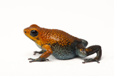This Is the Baru of the Granular Poison Frog, Oophaga Granulifera Photographic Print by Joel Sartore