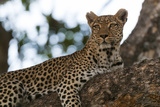 A Female Leopard, Panthera Pardus, Resting on a Large Tree Limb Fotografisk tryk af Sergio Pitamitz