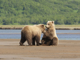 Brown Bears Communicating on a Shoreline in Katmai National Park Photographic Print by Matthias Breiter