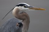 Close Up Portrait of a Great Blue Heron, Ardea Herodias Photographic Print by Kent Kobersteen