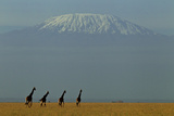 Four Masai Giraffes on a Grass Plain at the Base of Mount Kilimanjaro Fotografisk tryk af Beverly Joubert