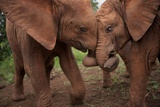 Orphan Elephants Socialize as Soon as the Worst Injuries Heal Photographic Print by Michael Nichols
