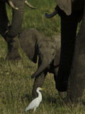 An African Elephant Calf, Next to its Mother, Looking at a Cattle Egret Photographic Print by Beverly Joubert