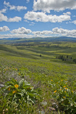 Arrowleaf Balsamroot Bushes Flower in Yellowstone National Park Photographic Print by Gordon Wiltsie