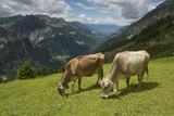 Free-Roaming Dairy Cattle Grazing in a Meadow in the Austrian Alps in Summer Photographic Print by Ulla Lohmann