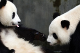A Pair of a Giant Pandas, Ailuropoda Melanoleuca, Interacting Photographic Print by Sean Gallagher