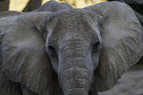 Close Up Portrait of a Desert-Adapted African Elephant, Loxodonta Africana Photographic Print by Jonathan Irish