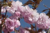 Close Up of Fluffy Pink Cherry Blossoms on a Tree in the Spring Along the Occoquan River Photographic Print by Kent Kobersteen