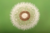 Close Up of the Seed Head of a Common Dandelion, Taraxacum Officinale Lámina fotográfica por Joe Petersburger