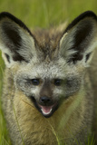 Close-Up Profile Shot of a Bat-Eared Fox Standing in the Lush Green Grass of Botswana Photographic Print by Beverly Joubert