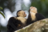 Brown Capuchin Monkeys Groom Each Other Photographic Print by Roy Toft