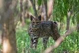 Portrait of a Wild Bobcat, Lynx Rufus Photographic Print by Karine Aigner
