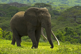 An Old African Elephant Bull Walking Through a Green Landscape Photographic Print by Beverly Joubert