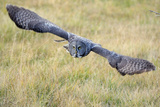 A Great Gray Owl Soars Through a Field Photographic Print by Barrett Hedges