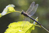 A Common Hawker Dragonfly at Rest on a Leaf Stem at Bartlett Cove Photographic Print by Matthias Breiter