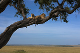 Two Lions Lying Next to Each Other in a Tree Photographic Print by Beverly Joubert