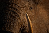 A Wild Bull Elephant Comes to Drink at the Ithumba Stockade Photographic Print by Michael Nichols