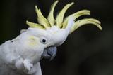 Portrait of a Sulphur-Crested Cockatoo Lámina fotográfica por Melford, Michael