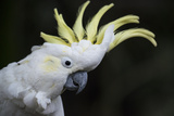 Portrait of a Sulphur-Crested Cockatoo Photographic Print by Michael Melford