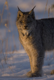 Twilight Portrait of a Canadian Lynx, Lynx Canadensis, in Snow Fotografiskt tryck av Michael S. Quinton