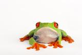 Red Eyed Tree Frog, Agalychnis Callidryas Photographic Print by Joel Sartore