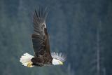 A Bald Eagle in Flight Near Petersburg, Inside Passage, Alaska Lámina fotográfica por Melford, Michael