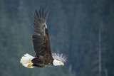 A Bald Eagle in Flight Near Petersburg, Inside Passage, Alaska Fotografiskt tryck av Michael Melford