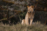 Portrait of a Sub-Adult Male Lion, Panthera Leo Photographic Print by Sergio Pitamitz