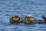A Sea Otter, Enhydra Lutris, and Her Pup Resting on their Backs in the Water Photographic Print by Michael S. Quinton