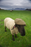 A Suffolk Sheep in a Tweed Cap Made from Suffolk Sheep Wool Fotografisk tryk af Jim Richardson