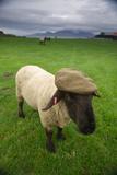 A Suffolk Sheep in a Tweed Cap Made from Suffolk Sheep Wool Fotoprint van Jim Richardson
