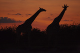 Silhouette of Two Giraffes Standing Walking across the Frame in the Sunset, Botswana Photographic Print by Beverly Joubert