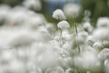 Close Up of Dryas in Bloom Along the Wind River Photographic Print by Peter Mather