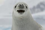 Crabeater Seal, Lobodon Carcinophaga, Portrait Photographic Print by Tim Laman