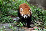 Portrait of a Lesser Red Panda, Ailurus Fulgens Photographic Print by Sean Gallagher