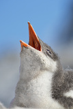 Close Up of a Downy Gentoo Penguin Chick Begging for Food Photographic Print by Ira Meyer