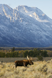 A Bull Moose Walks Proudly in Front of the Mountains Photographic Print by Barrett Hedges