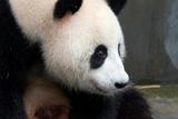 Portrait of a Giant Panda, Ailuropoda Melanoleuca Photographic Print by Sean Gallagher